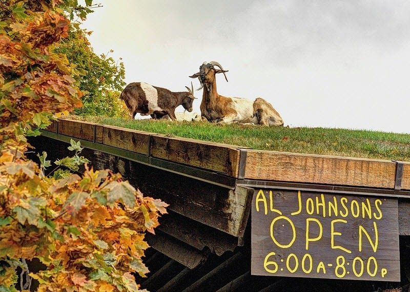 A Restaurant With Goats On The Roof Amusing