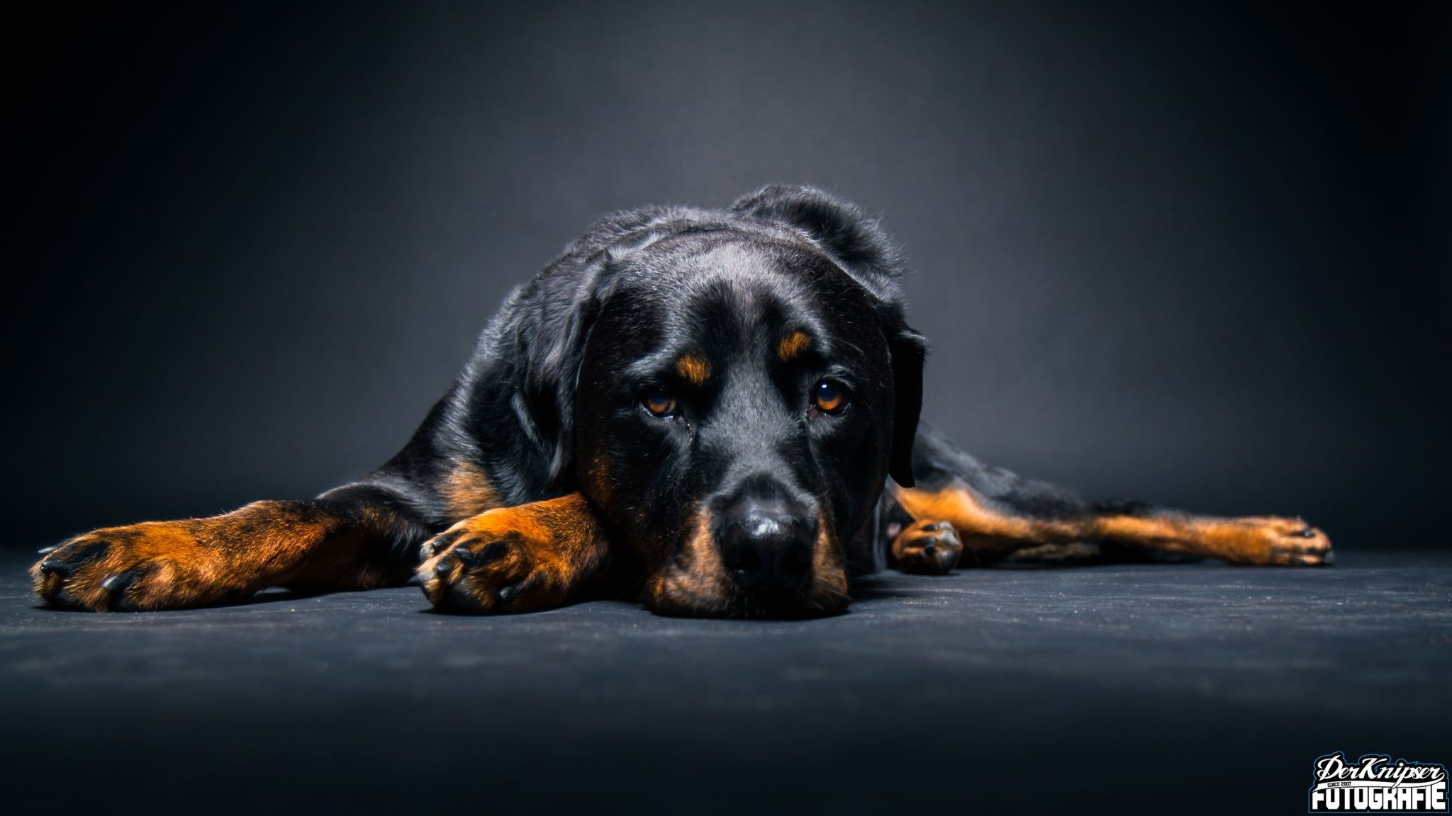 Rottweiler Rico - wonderful rottweiler rico, a real teddybear also shot with the striplight from above