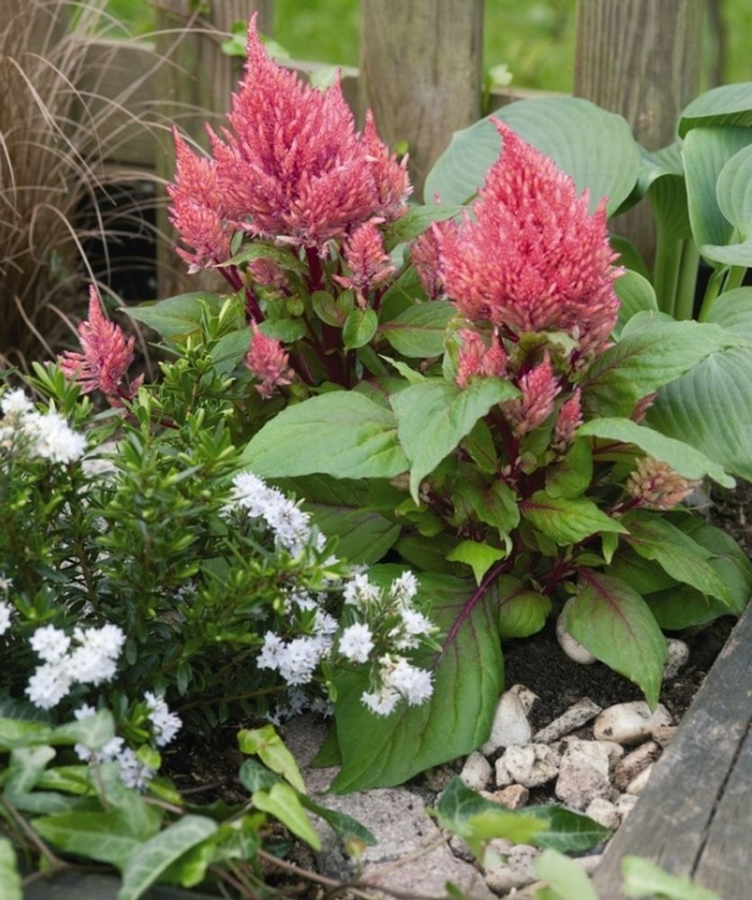 Celosia Smart Look Romantica Gardening An Obsession Pinterest