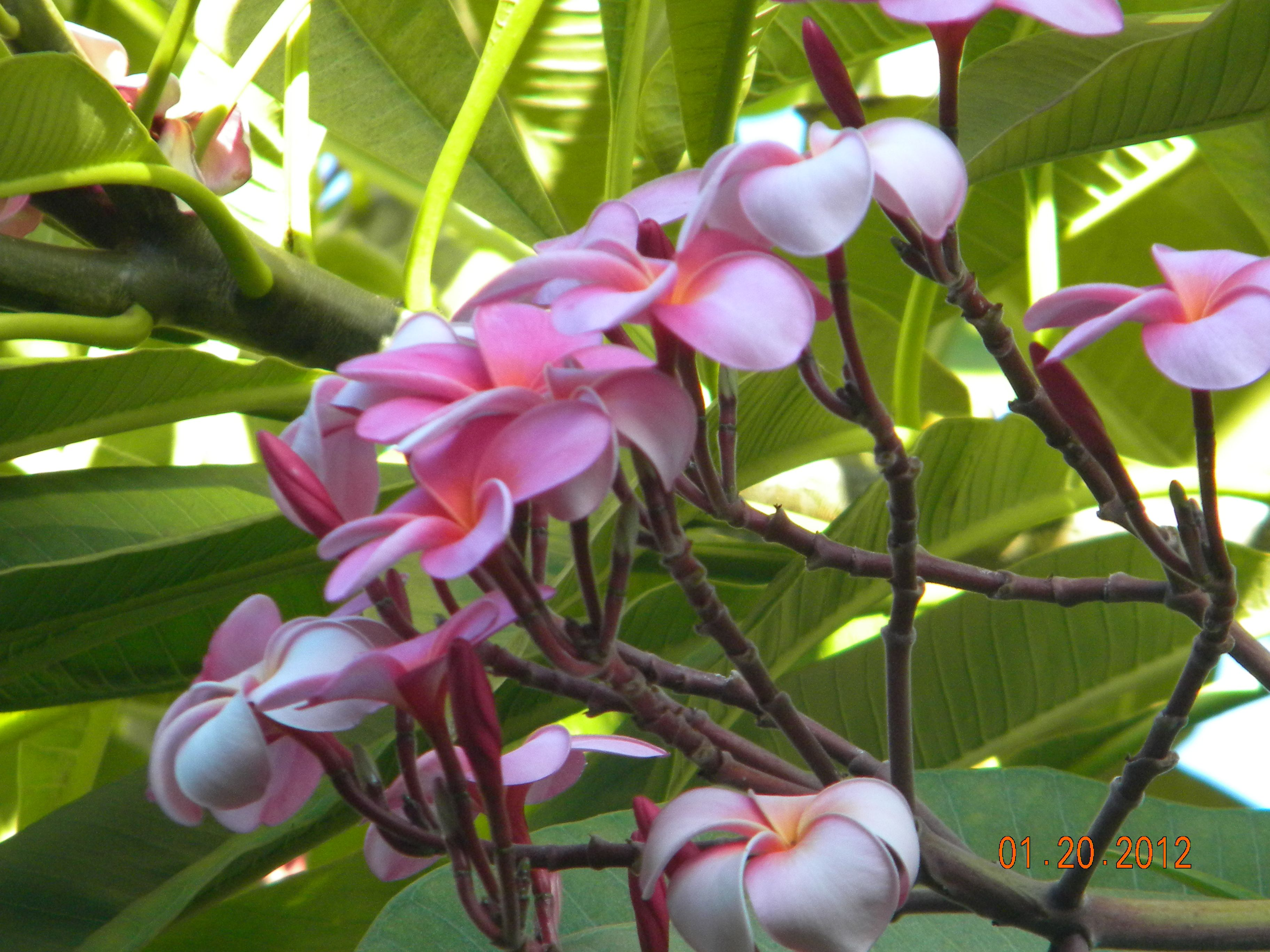 Beautiful Fragrant Flowers On Maui My Photos Pinterest
