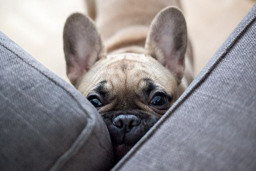 By Elsvo On Flickr Cute Animals Bulldog