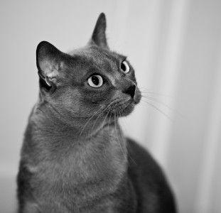 Burmese Cat History Burmese Cat Club Burmese Cat Burmilla Cat Burmilla