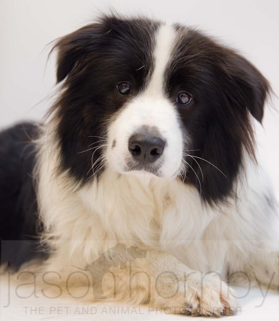 This Adorable Young Collie Was Recently Photographed At Pets At Home And I Couldn T Ask For More Expression To Captured In On Dog Photograph Pet Portraits Dogs