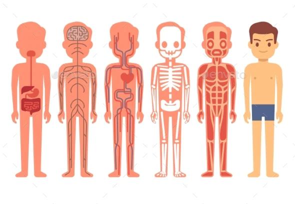 Human Body Anatomy Vector Illustration Male Body Anatomy Human Body Anatomy Human Body