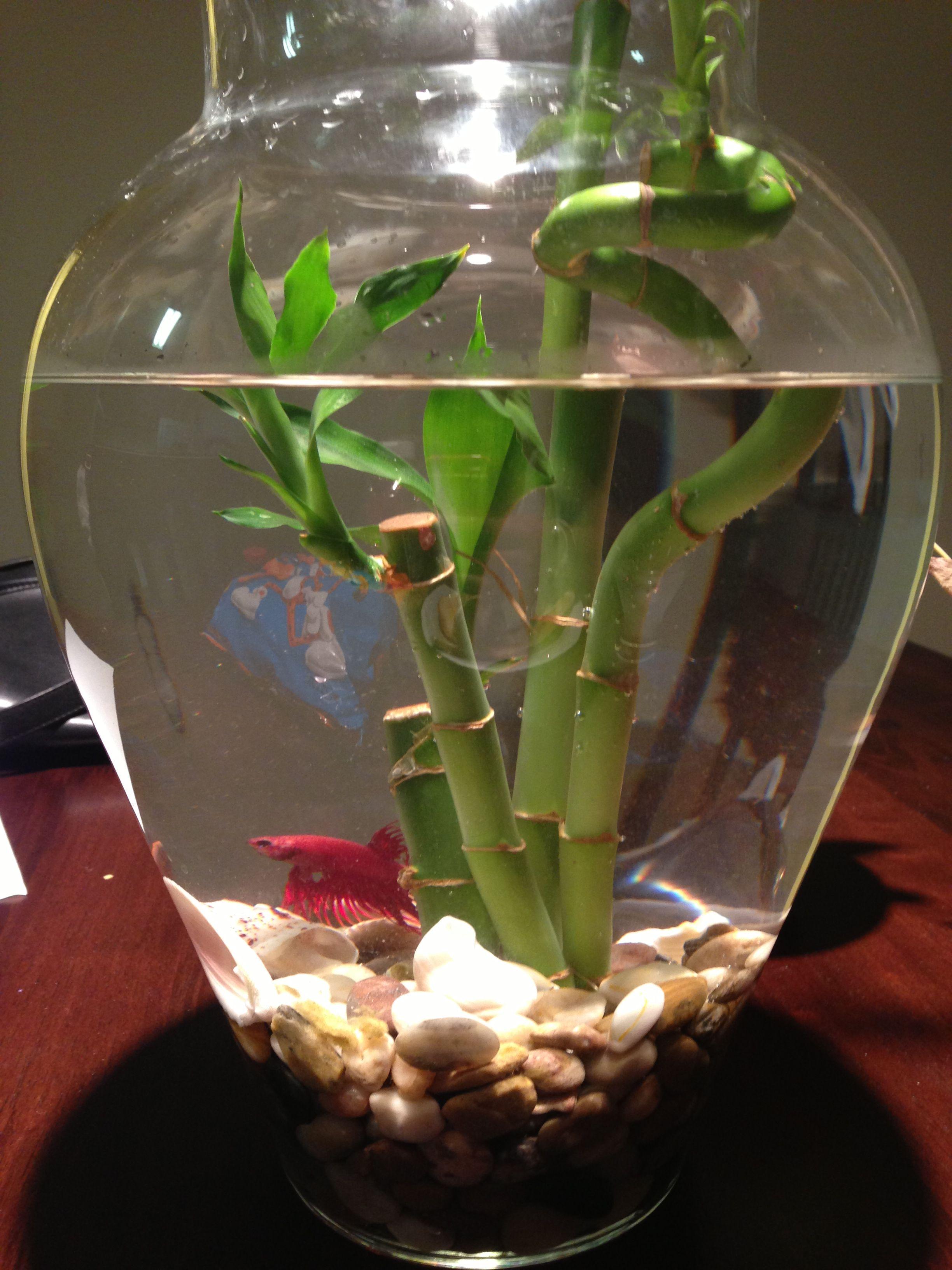 Beta fish with bamboo diy pinterest beta fish fish and fish beta fish with bamboo reviewsmspy