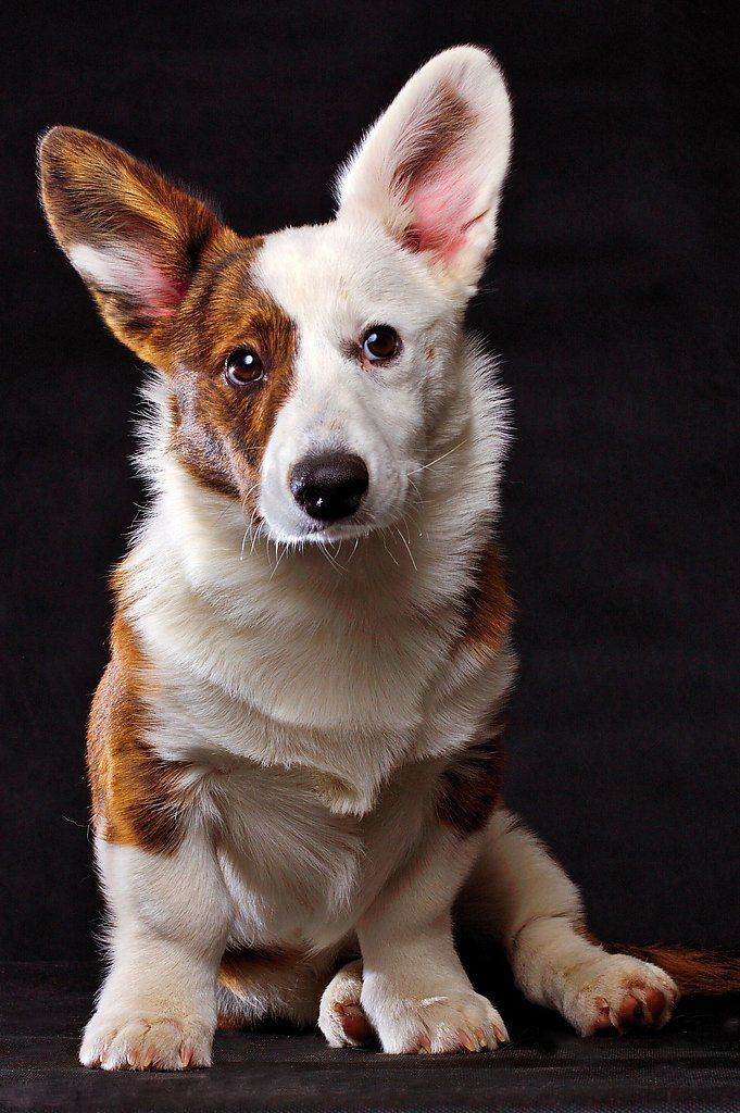 Cardigan Welsh Corgi Dogs Cute Dogs Images Corgi Dog Cute Dog