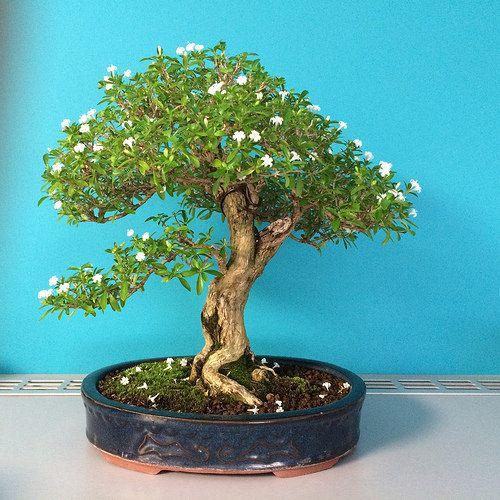 Untitled Flickr Photo Sharing Bonsai Tree Types Bonsai Tree Care Bonsai Care