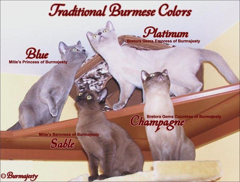 Burmese Cat Colours Burmese Cat Siberian Cat Cat Breeds