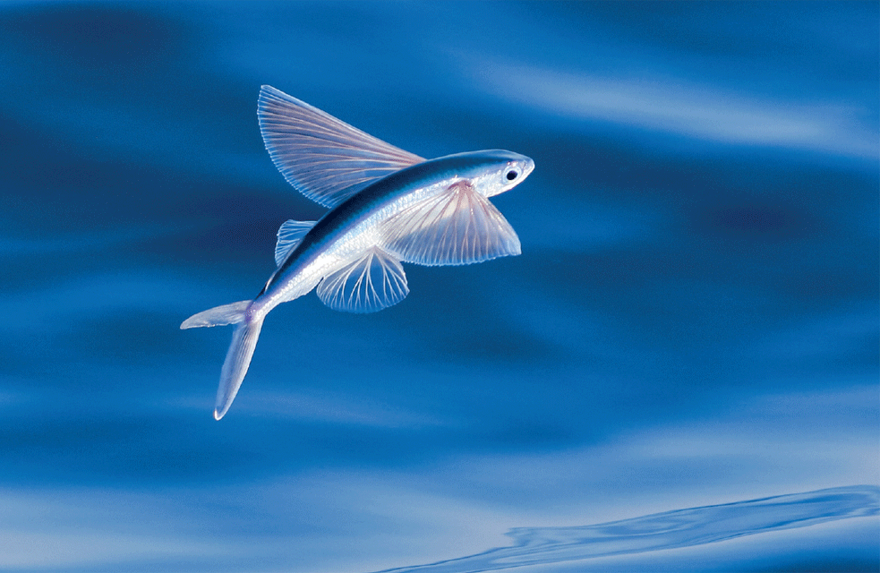 Atlantic Flying Fish Weird Animals Fish Weird Fish