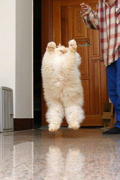 Fun fact: Cats can jump up to five times their own height.