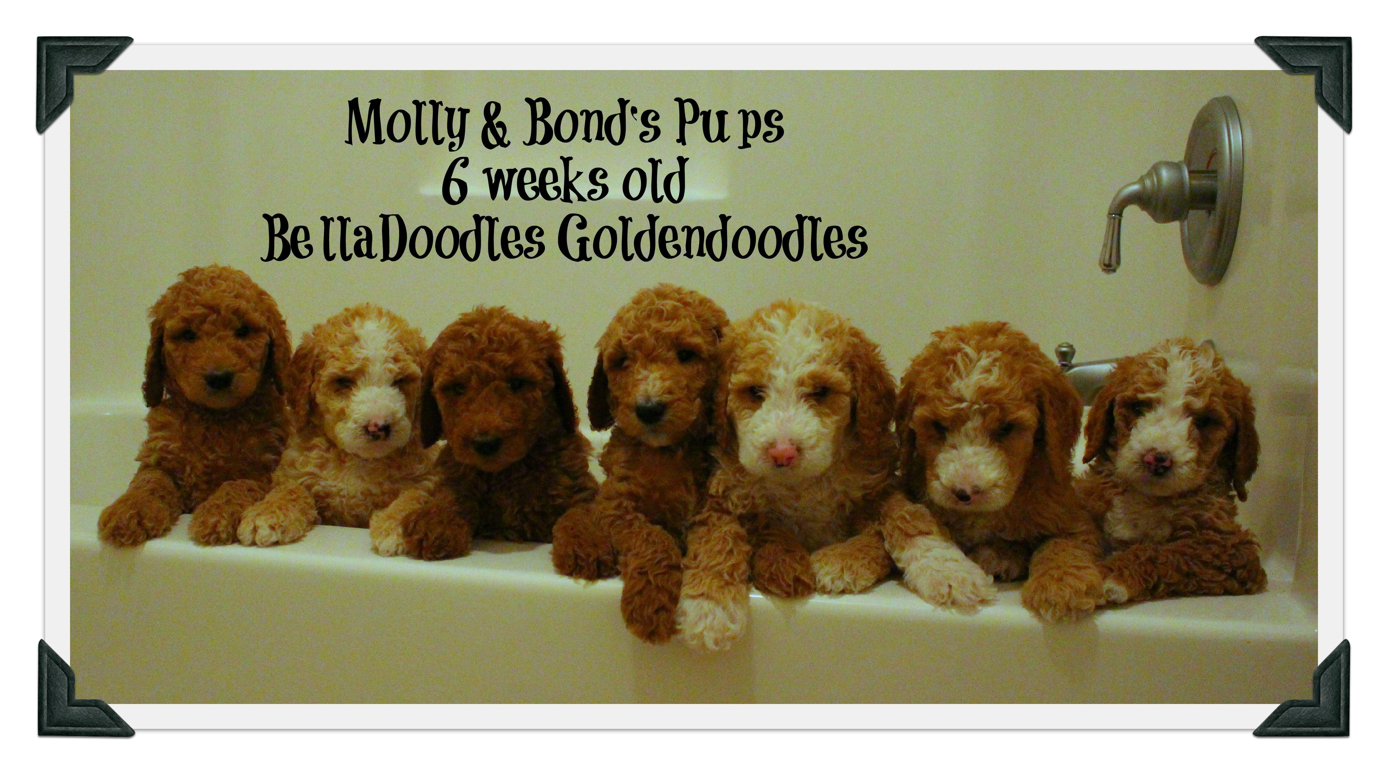 Belladoodles goldendoodles goldendoodle goldendoodle