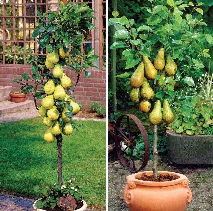 efd7cb20e2ce25868c139b5c67861ed4 - Columnar Fruit Trees For Small Gardens