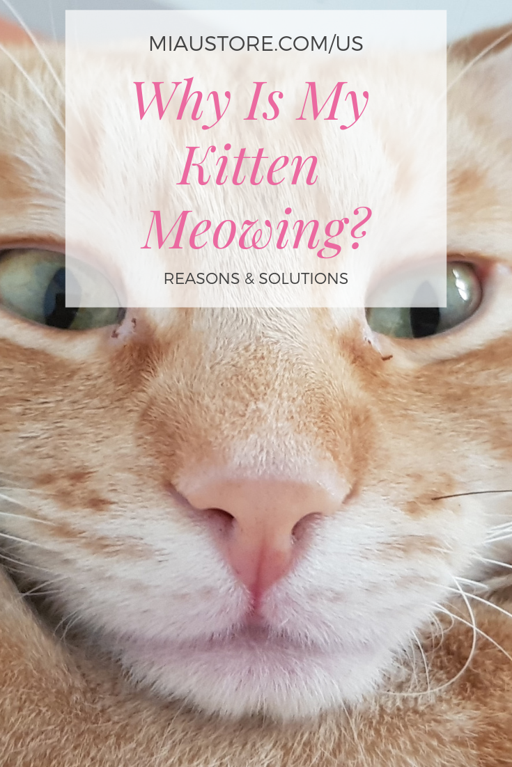 My Kitten Is Meowing Why Answers On Miaustore Us Ca Articles