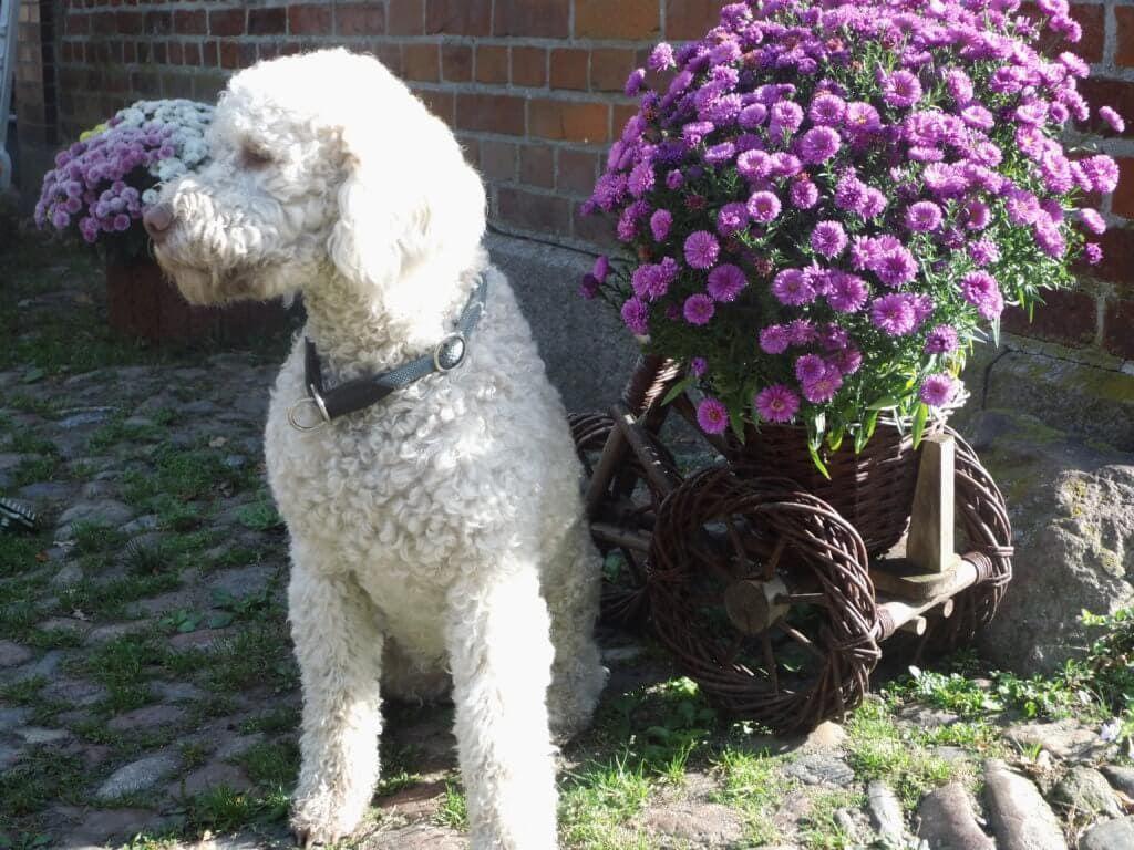 Lagotto Romagnolo Charmant Charismatisch Aussergewohnlich Hunde Futter Hunde Hundefutter