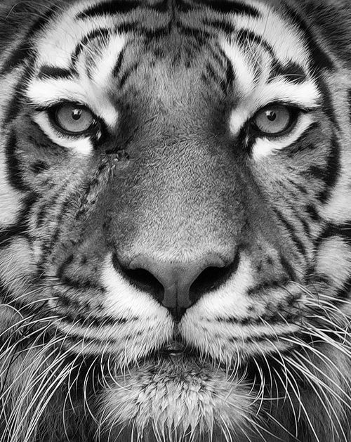 my favorite animal tiger Voted as the world's favorite animal, this tiger is the most varied cat on  their  prey, tigers are often found imitating the sound of other animals.