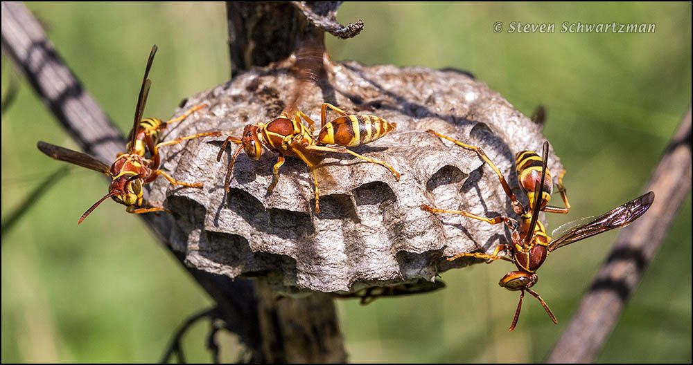 paper wasp nest photos Paper wasps at their nest on a