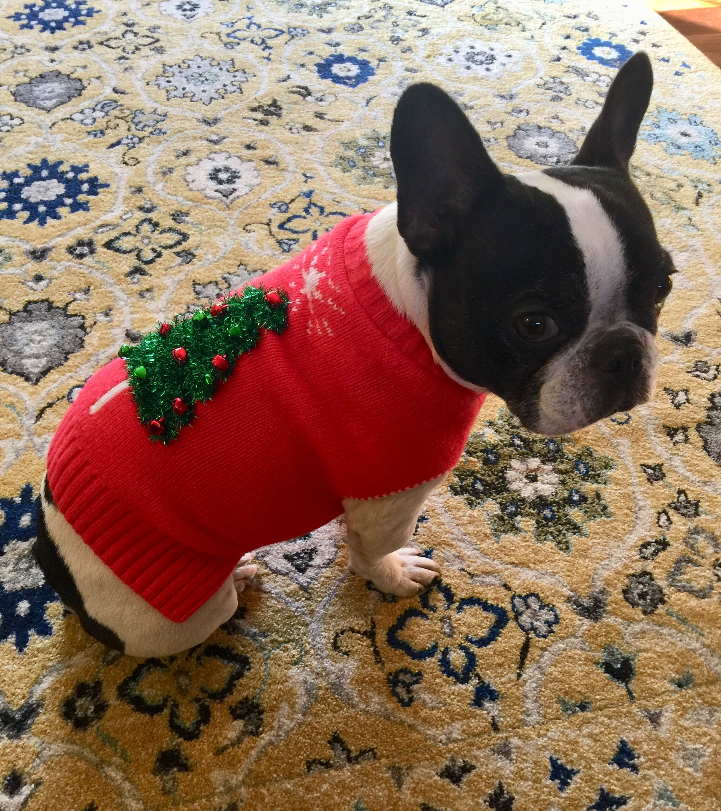 Pepper The French Bulldog In Her Christmas Sweater Christmas Dog