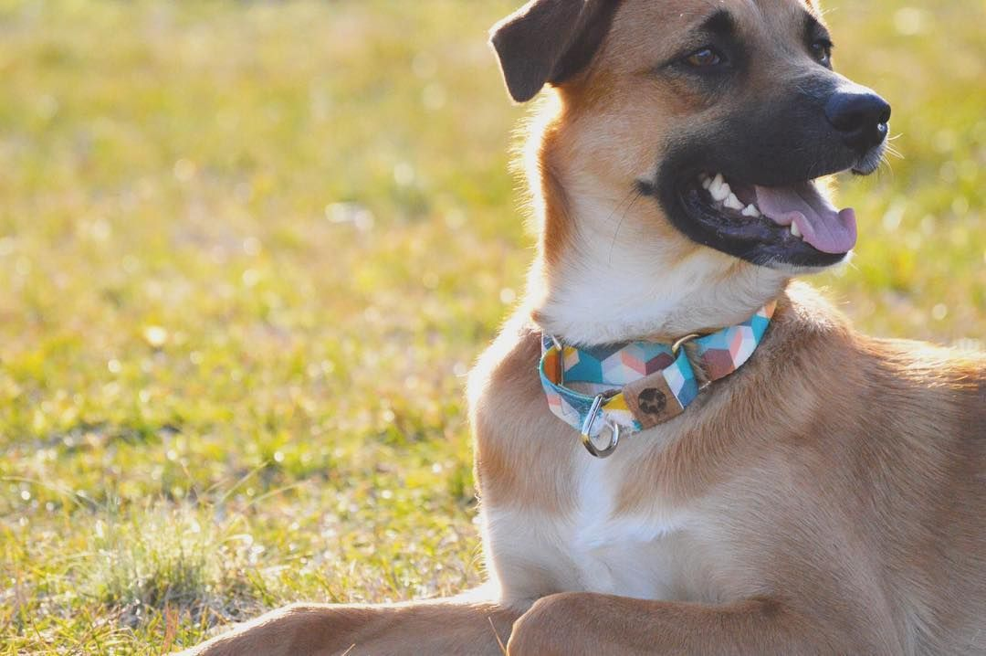 Black Mouth Cur Dog - Essential Information You Need to Know