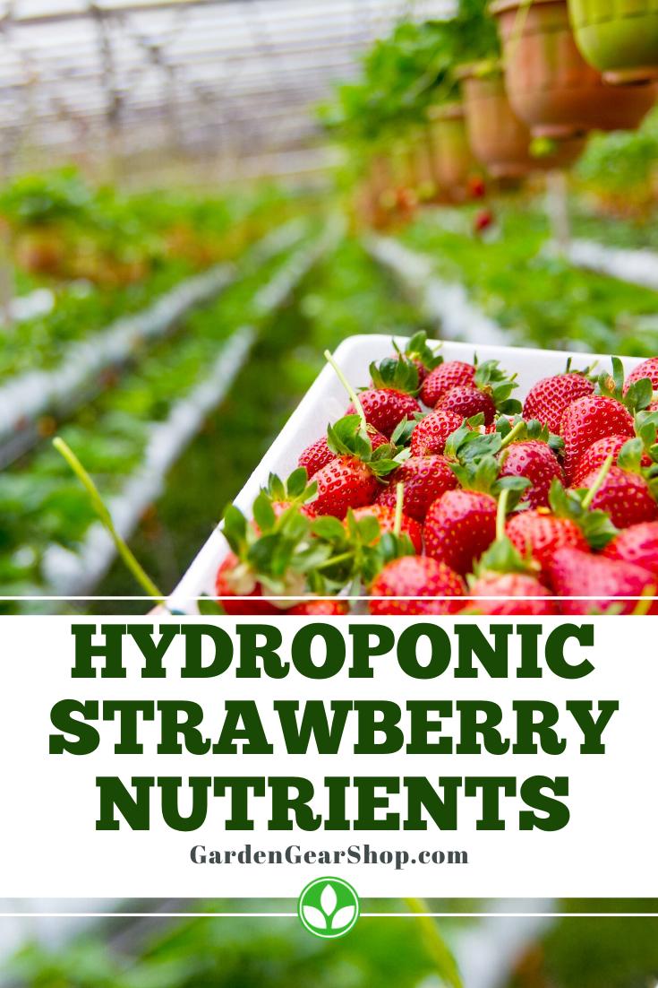 Hydroponic Strawberry Nutrients Hydroponic Nutrients Strawberry In 2020 Hydroponic Strawberries Hydroponics Strawberry Plants