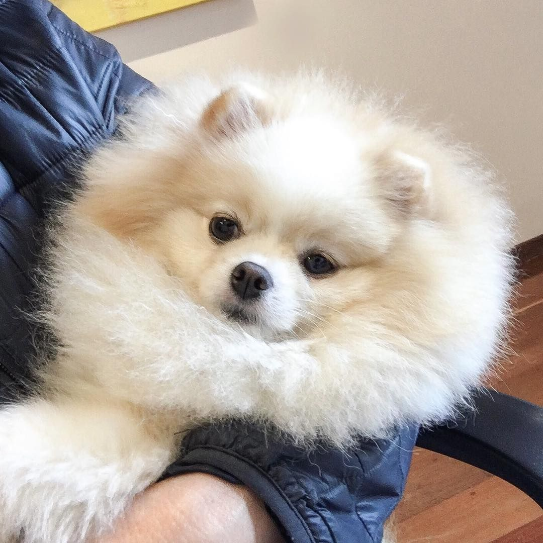 Quemguenta Pricesa Mimada Amorzinha Fofolete 1 Boo Boo Awesome Dog Boo The Most Beauti Perros Bonitos Perros Jiff Pom