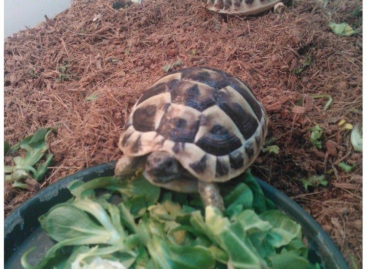 Hermann Tortoise. Hermann tortoise, Tortoises, Tortoise
