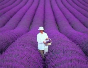 Lavender Farm Just Outside Of Fredericksburg Texas