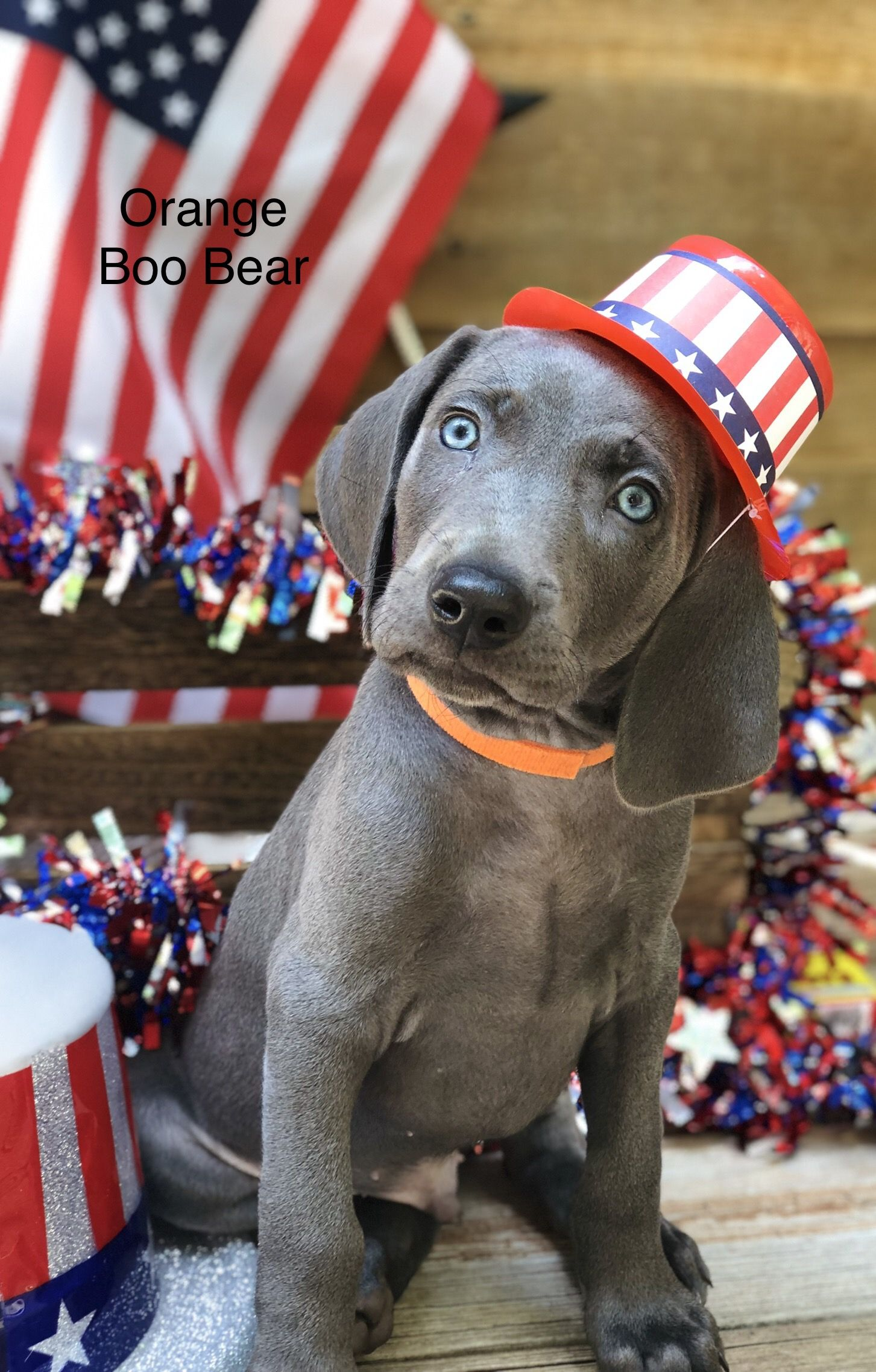 Pin By Puppies4u On Puppies For Sale Weimaraner Puppies Dog