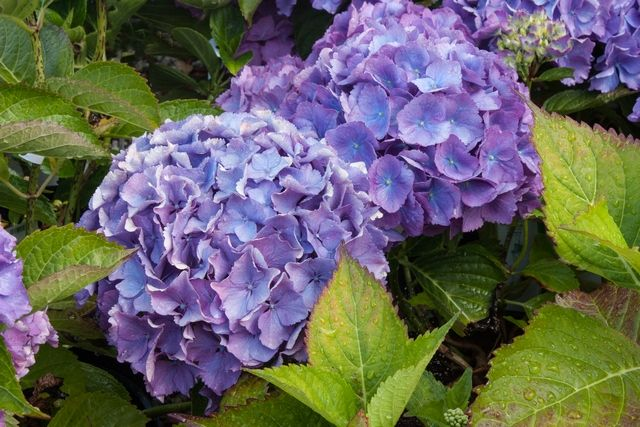 Hydrangea macrophylla 'Mathilda Gutges' has large heads of blue or pink flowers. A fairly compact habit. As with many Hydrangeas only flowers blue with sufficient aluminium in the soil.