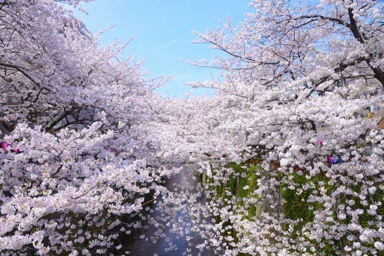 Pemandangan Indah Bunga Sakura 10 Tempat Di Tokyo Untuk Melihat Bunga Sakura Di Musim Semi Ini Melihat Pemandangan Bunga Sakur Bunga Sakura Pemandangan Bunga