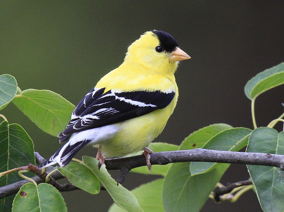 Yellow Finch Stunning contrasting colors! Beautiful