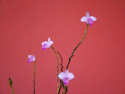 capim orquídea