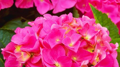The Cityline® Vienna Hydrangea is a compact shrub with panicles of flowers in either a dashing deep pink or a vibrant purple-ish blue, depending on whether the soil is alkaline or acidic.