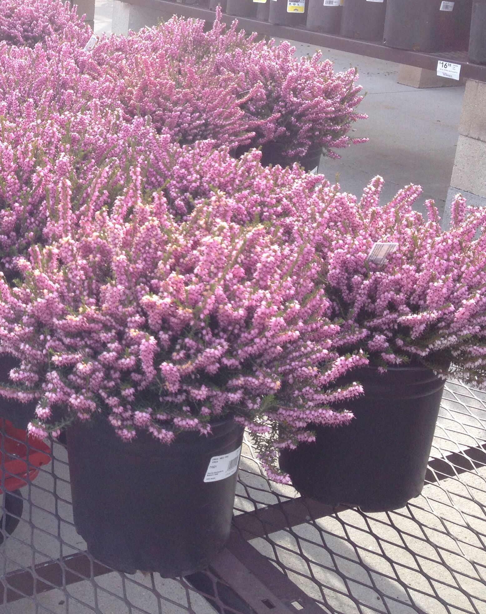 Mediterranean Pink Heather Great For Year Round Dense Cover Flowers Last Through Winter And Early Spring Heather Plant Garden Beds Landscaping Plants