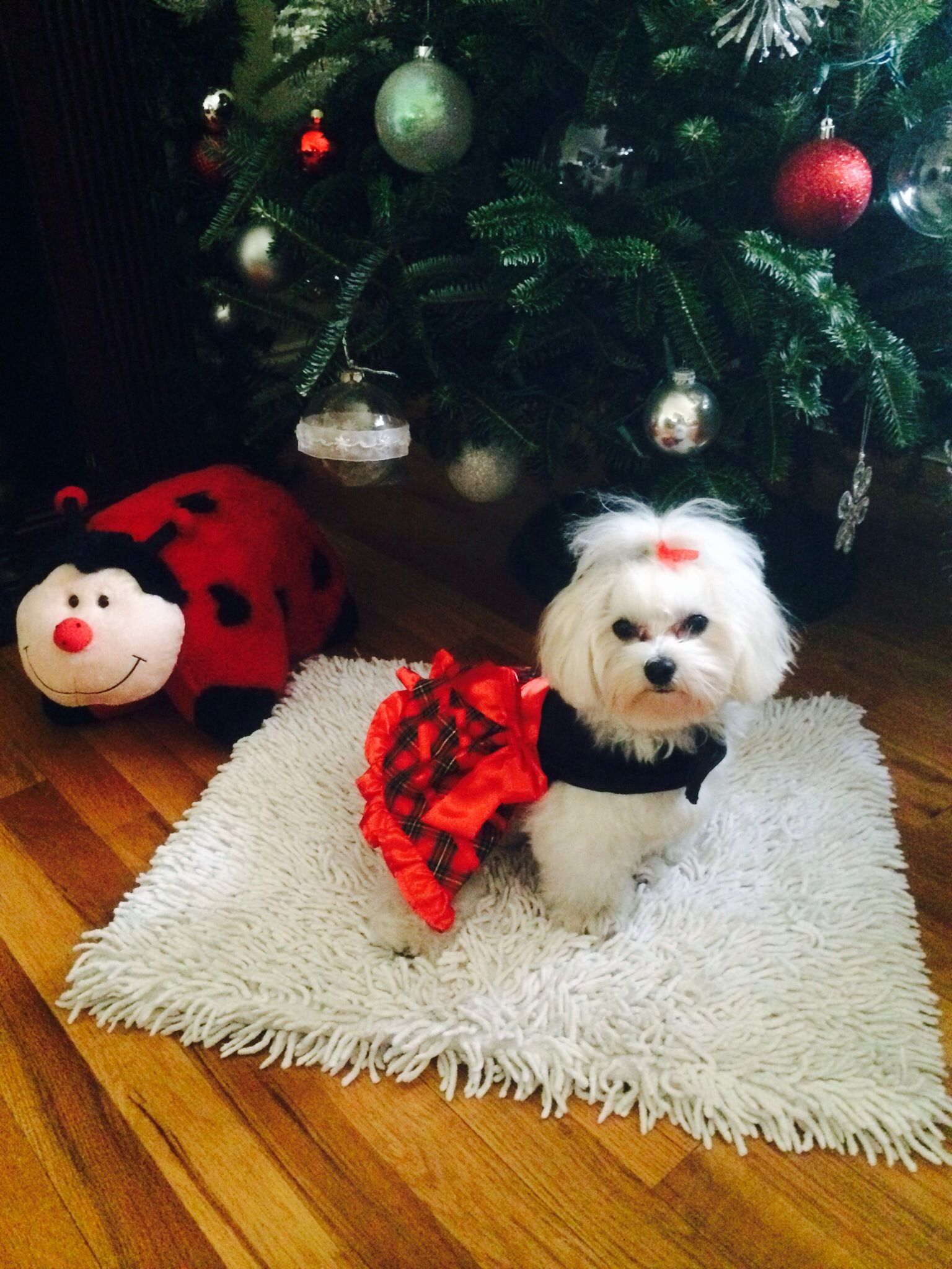 Sophie S Holiday Dress Maltese Puppy Maltese Dogs Teacup