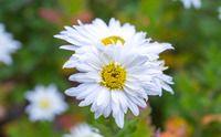 Listopadka, Chrysanthemum