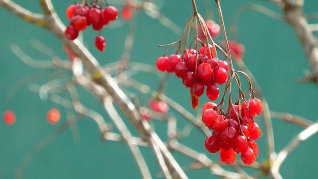Калина красная полезные свойства и противопоказания фото 2 ...