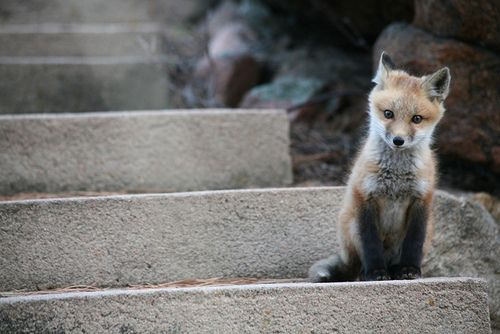My Favorite Animal Ever The Fox With Images Pet Fox Animals