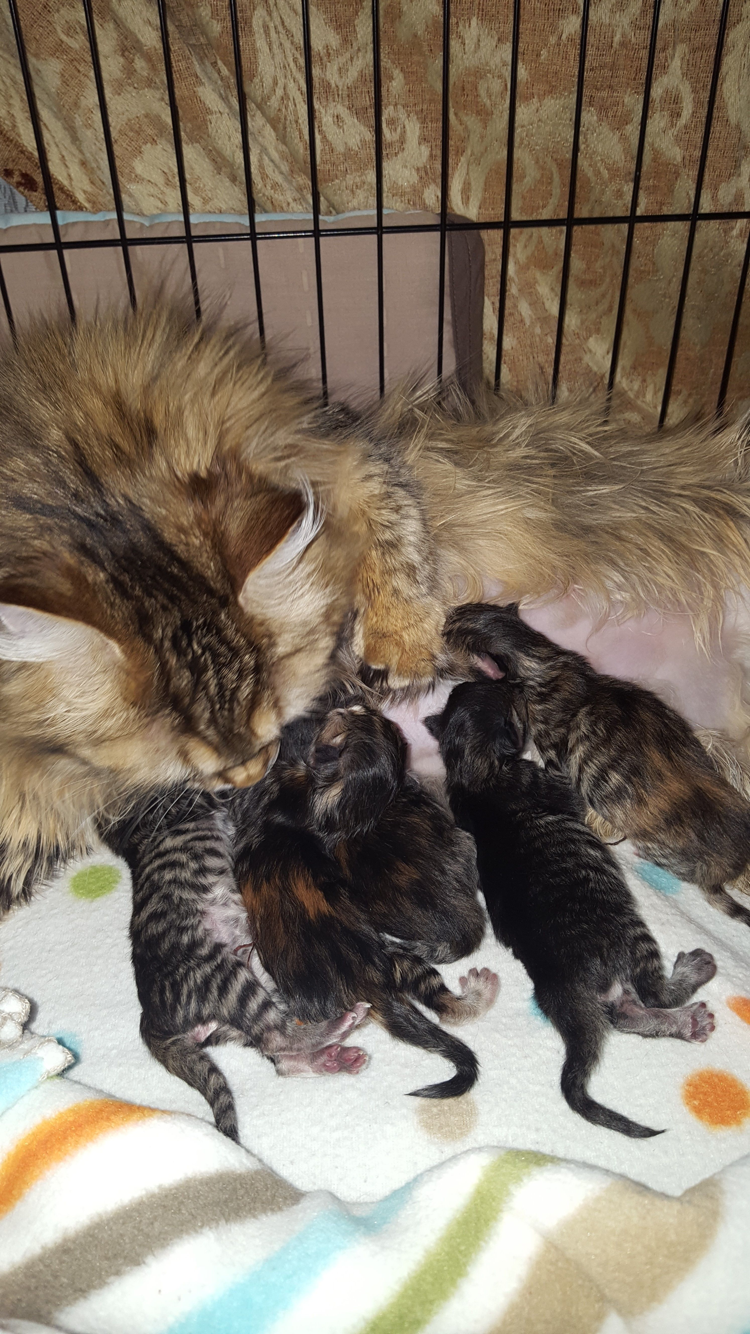 Pin by Siberian Tale Cattery on Siberian Kittens