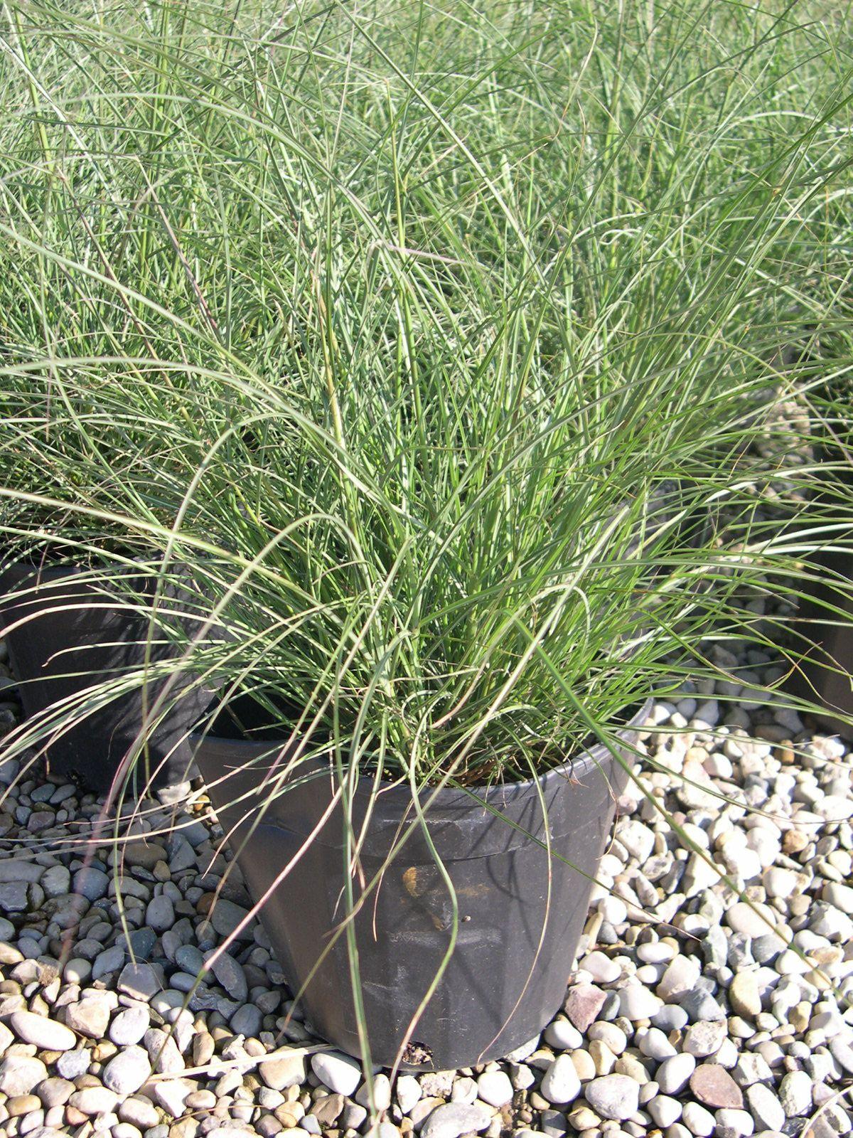 Miscanthus Sinensis Little Kitten Little Kitten Maiden Grass Grasses Garden Ornamental Grasses Grass