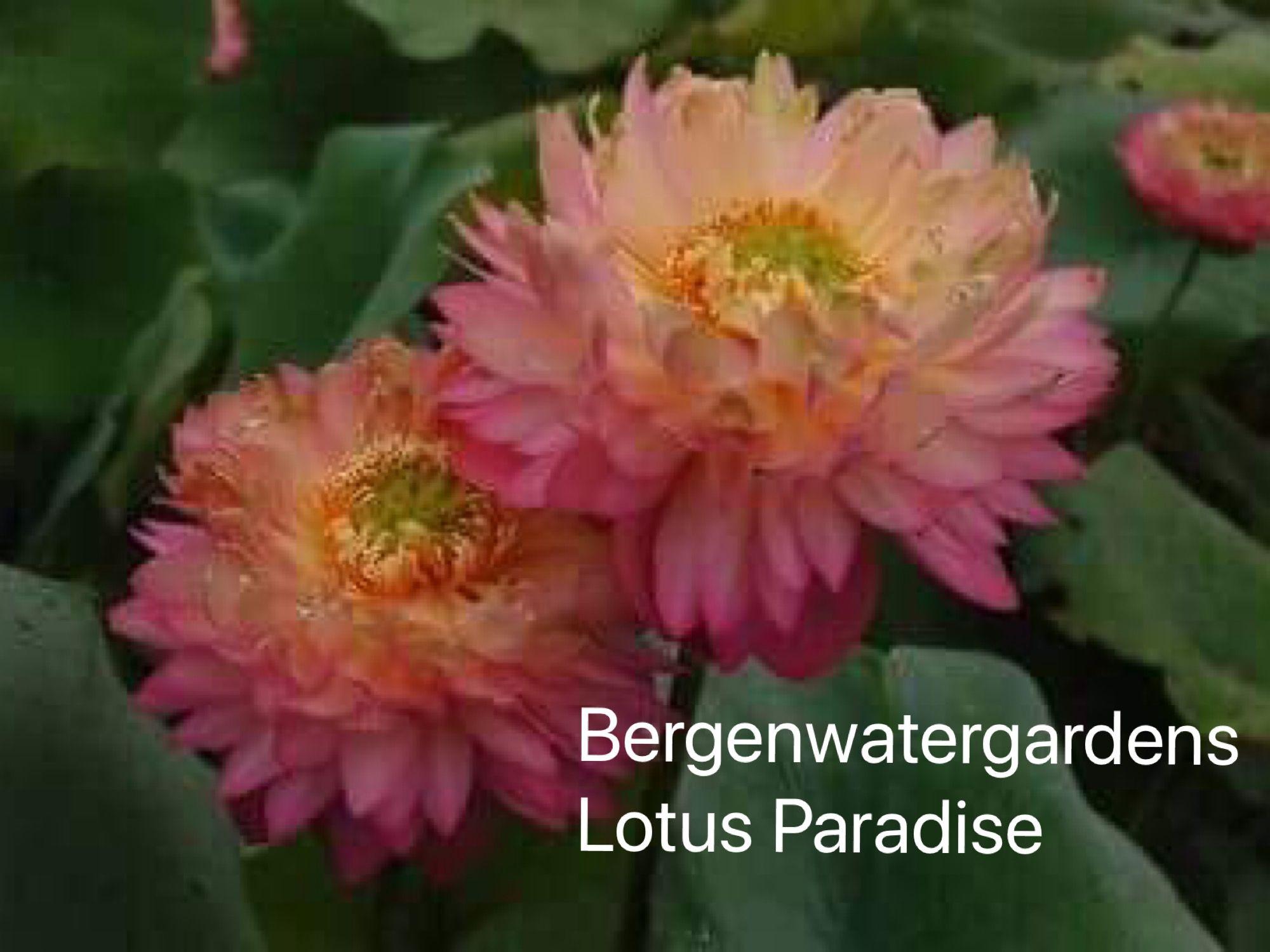 Pin by lotus paradise on lotus paradise pinterest lotus lotus paradise chinese lotus flower tomatoes lotus flowers heaven heavens izmirmasajfo