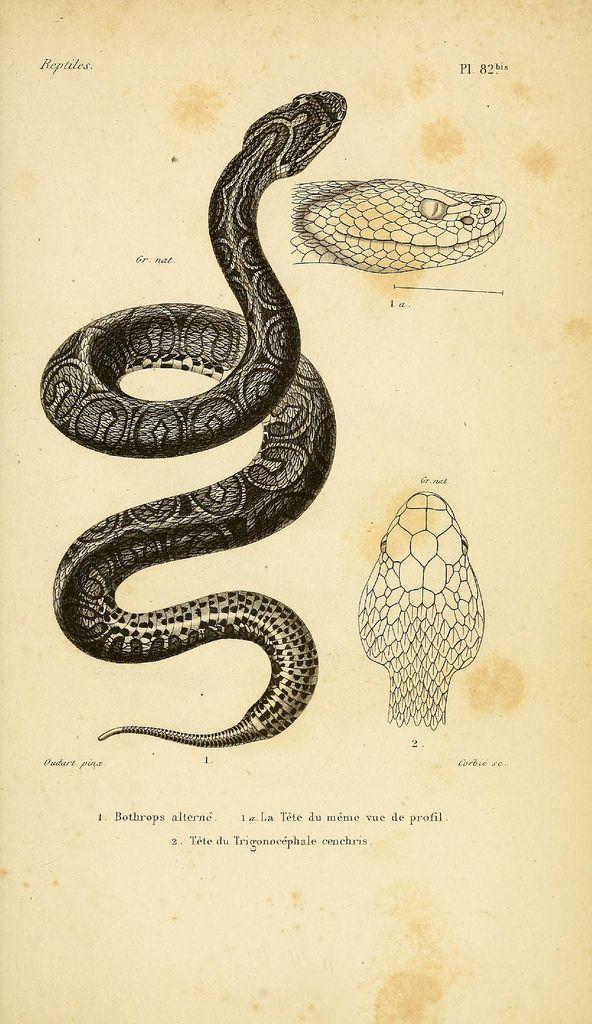 Bothrops Alterne Snake Illustration Snake Drawing Snake Art