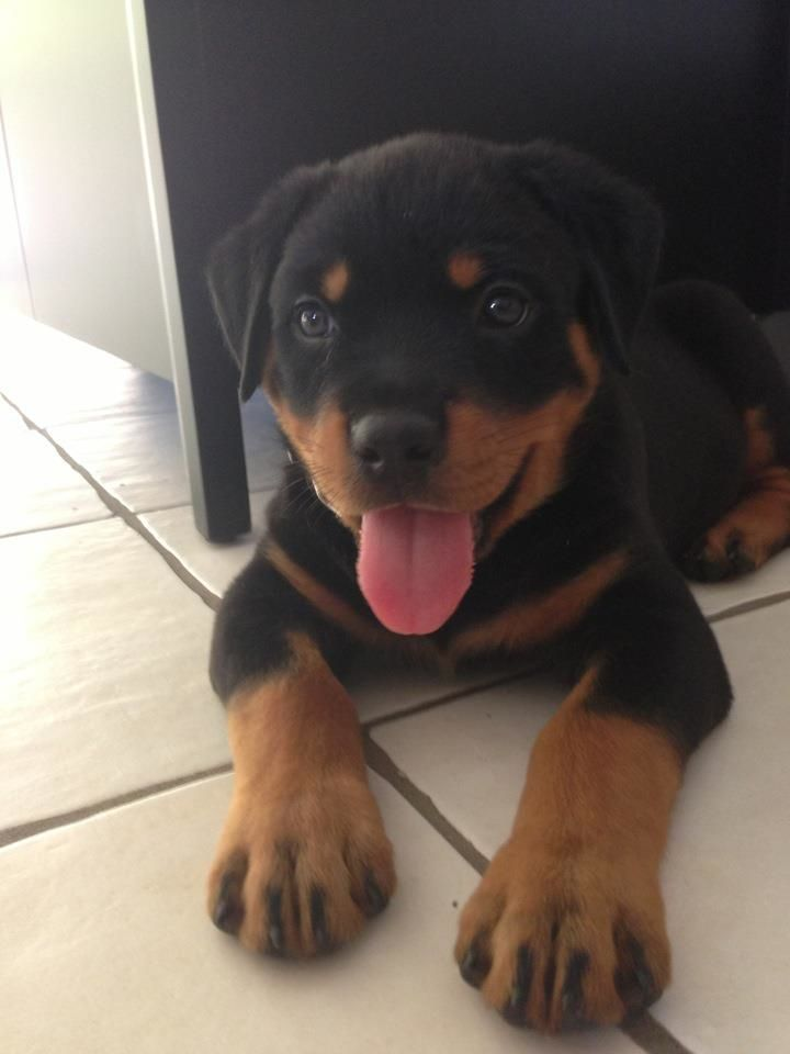 My friends brother got a new rottweiler puppy. - Imgur