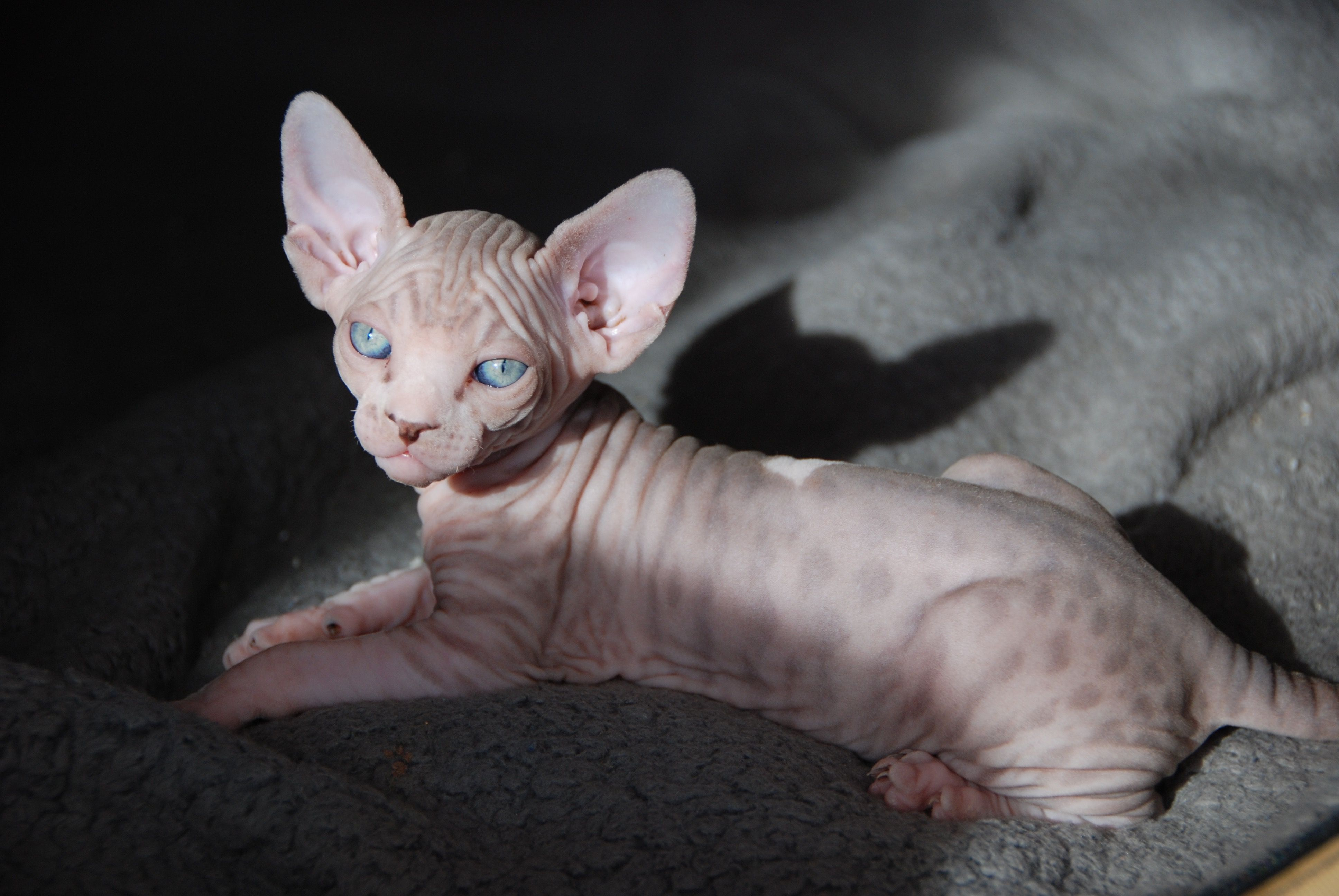 Cleopatras Pampered Babies Male Female Sphynx Kittens For Sale