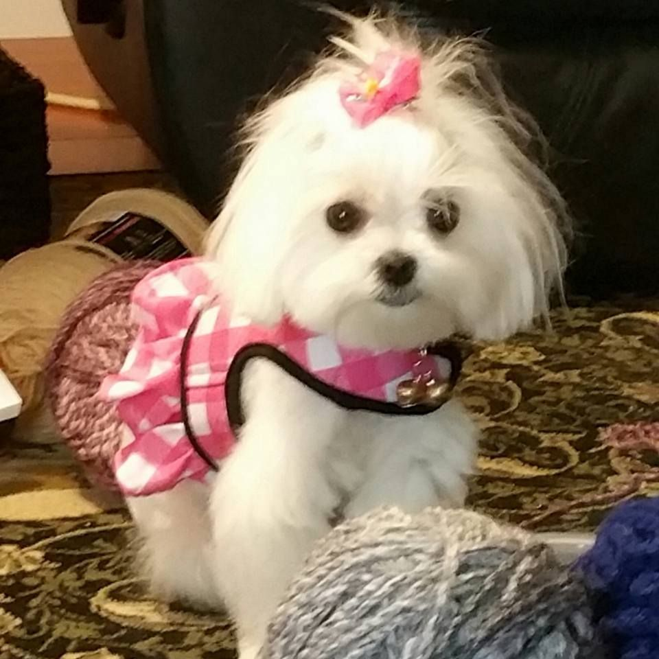 Hello Chibi, you are just too cute ) maltese (With