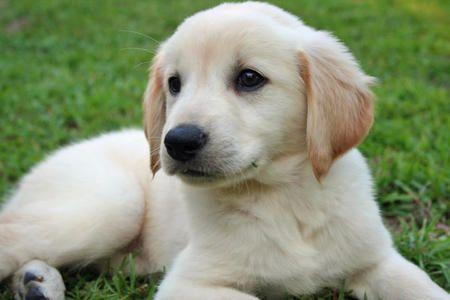 Daily Puppy Golden Retriever Cute Puppy Names Puppies
