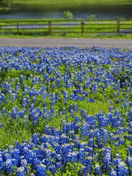 Texas Ennis Bluebonnet Trail.; thru my lens. ..