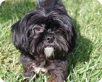 Paris Ky Shih Tzu Meet Clyde A Dog For Adoption Http Www Adoptapet Com Pet 11084484 Paris Kentucky Shih Tzu Dog Adoption Pets Kitten Adoption