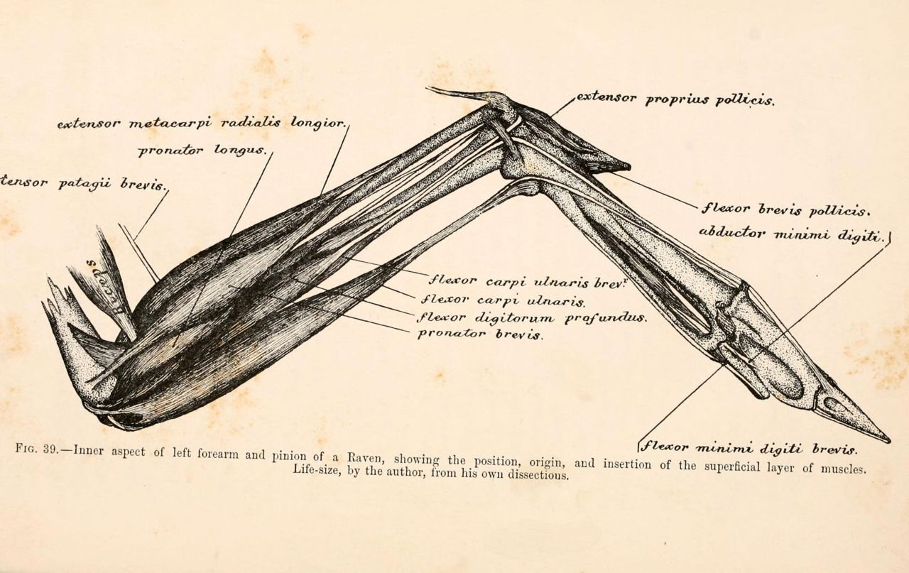 Another Illustration Of The Skeletal Wing Structure