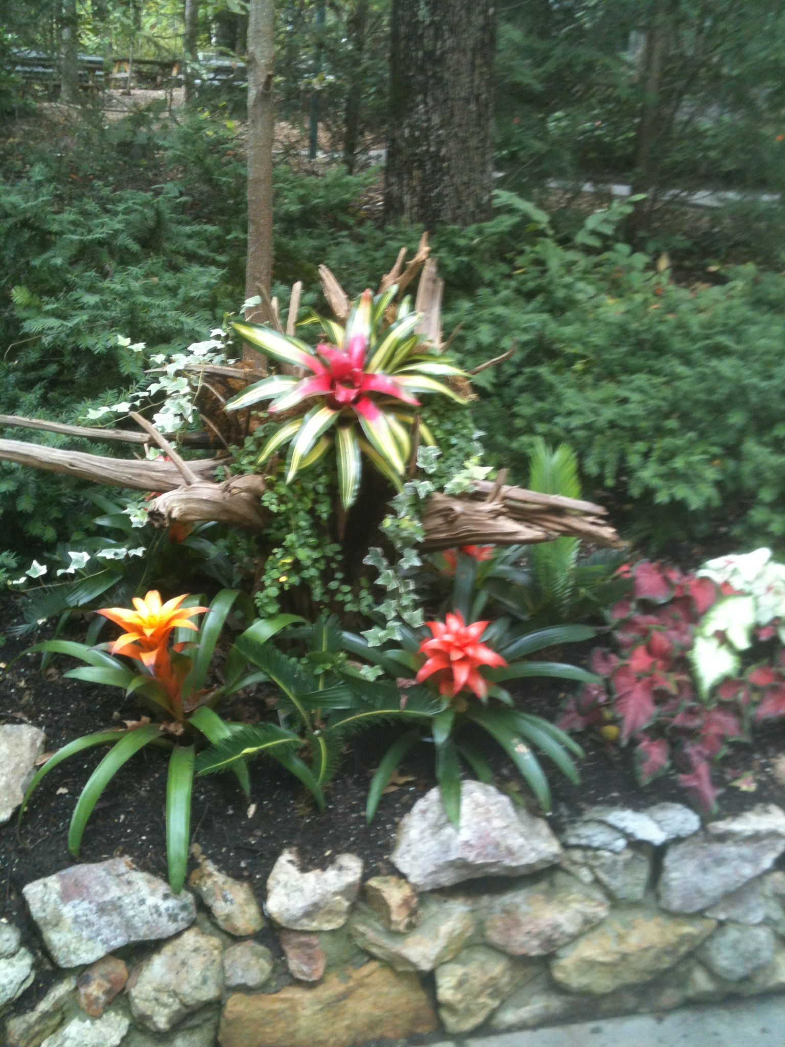 Bromeliads At Parrot Mountain In Tn Tropical Plantsair