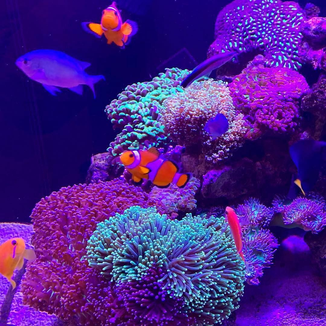 Acuario Marino Pecestropicales Acuariomarino Torrelavega Acuarista Acuarios Corales Spscoral Lpscoral Coral Aqu Fish Pet Animals Aquarium